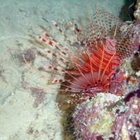 Rotfeuerfisch, Oktober 2002