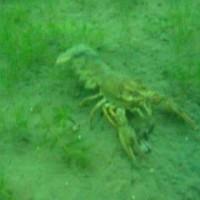 Flußkrebs, Oktober 2003