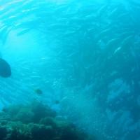 Stachelmakrelen, Jackfishs, März 2004