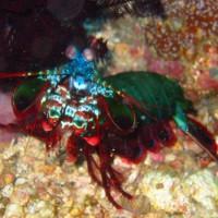 Fangschreckenkrebs, Oktober 2003