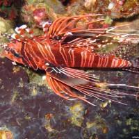 Rotfeuerfisch, Oktober 2003