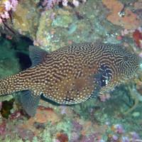 Netz-Kugelfisch, Oktober 2003