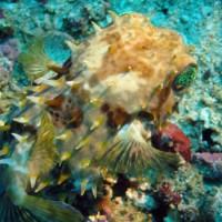 Großaugen-Igelfisch, Oktober 2003