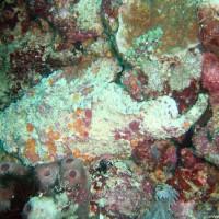 Falscher Steinfisch, Oktober 2003
