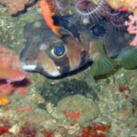 Maskenigelfisch, Oktober 2003