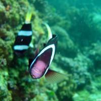 Clarks-Anemonenfische, Oktober 2003