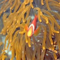 Malediven-Anemonenfisch, Oktober 2003