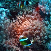 Clarks-Anemonenfisch, Oktober 2003