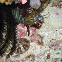 bunter Fangschreckenkrebs, Oktober 2003