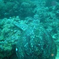 Karettschildkröte, Oktober 2003