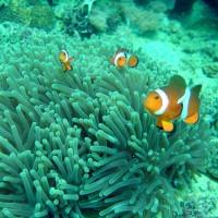 Orangeringel-Anemonenfisch, Oktober 2003