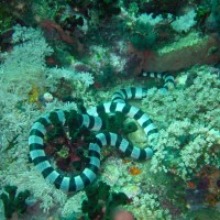 Gebänderte Gelblippen-Seeschlange, Oktober 2003