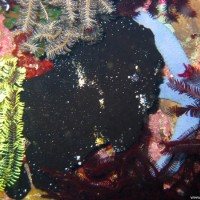 Großer Anglerfisch, Oktober 2003