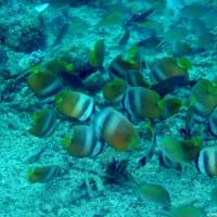 Falterfische, Oktober 2003