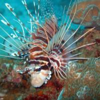 Rotfeuerfisch, März 2007