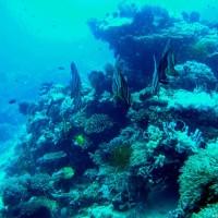 Fledermausfische, März 2007