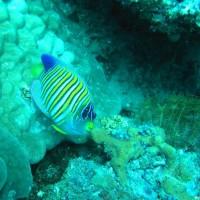 Pfauen-Kaiserfisch, März 2007