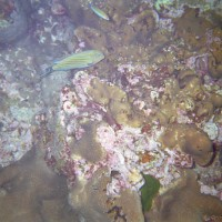Süßlippe über Lederschwamm, Januar 2002