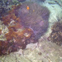 Ringel-Anemonenfisch mit Nachwuchs, Januar 2002