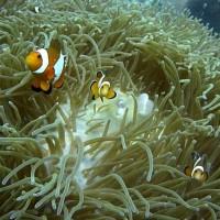 Clownsfische und ihre Anemone, März 2010