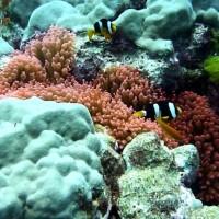 Clownsfische mit Blasenanemone, März 2010