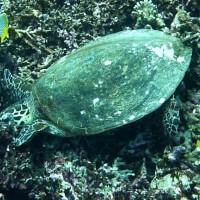 fressende Schildkröte, März 2010