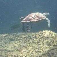 Schildkröte in der Strömung, März 2010